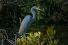 • Location - Merritt Island National Wildlife Refuge • Tri--colored Heron
