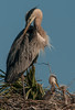 • Location - Viera Wetlands and surrounding areas • Great Blue Heron mom with its babies