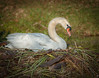 • Location - Viera • Mute Swan in her nest