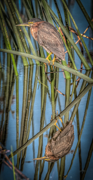 • Location - Viera Wetlands • Green Heron with its reflection