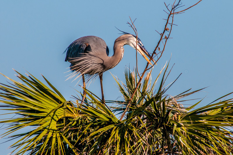 • Location - Viera Wetlands • Great Blue Heron building its nest