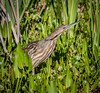 • Location - Viera Wetlands • American Bittern