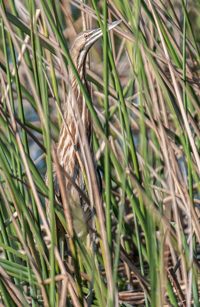 • Location - Viera Wetlands • American Bittern in hiding
