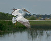 • White Pelican • ISO 250, f-9 Speed, 1/2000 sec • LR5 and PS CC • Cropped size - 4148 X 3324