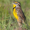 • Moccasin Island Track • Eastern Meadowlark calling for its mate