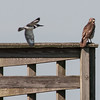 • Viera Wetlands • Red-shouldered Hawk with a Belted Kingfisher in flight