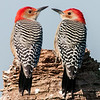 • Viera Wetlands • A pair of Red-bellied Woodpeckers