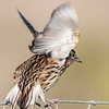 • Moccasin Island Track • Eastern Meadowlark just taking off
