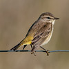• Moccasin Island Track • Palm Warbler and is only 4.5 inches in length