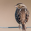 • Moccasin Island Track • The back view of the Savannah Sparrow