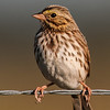 • Moccasin Island Track • Savannah Sparrow and is only 5.5 inches in length