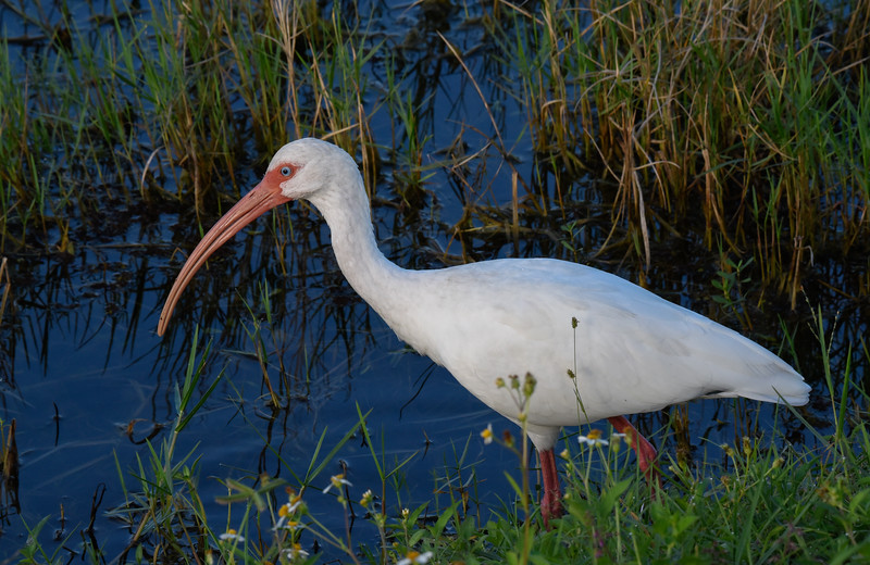 • White Ibis<br /> • Cropped into 83% of the original size of this photo