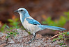 • Location - Cruickshank • Scrub Jay