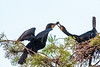 Double Crested Cormorant exchanging something to eat
