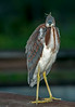 Tri-colored Heron with both eyes focused on me.