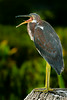 Tri-colored Heron telling me enough picture already.