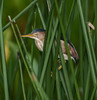 Least Bittern trying to hide from me