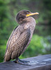 This Cormorant did an excellent job of posing for me.
