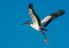 Wood Stork in flight looking for some nesting material