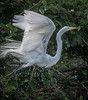 Great Egret ready for take-off