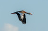 Black -bellied Whistling Duck in flight