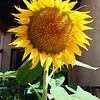 2013-05-05 Sunflower