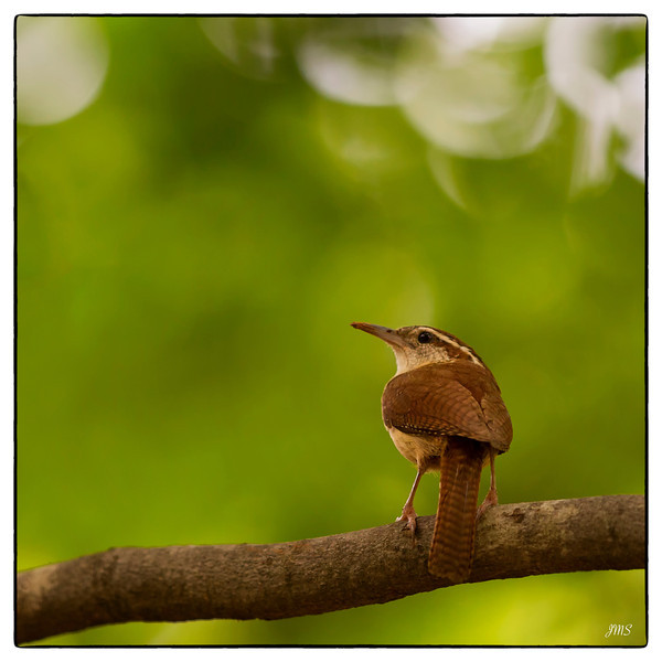 Carolina Wren Day 187 of 365 July 6, 2013