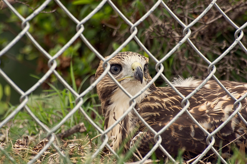"As I was shooting with a longer lens, others kept getting closer with smart phones, he became nervous and began to vocalize, which in hawk language means ""momma"". It was then time for all to leave him alone."