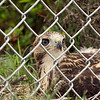 """As I was shooting with a longer lens, others kept getting closer with smart phones, he became nervous and began to vocalize, which in hawk language means """"momma"""". It was then time for all to leave him alone."""