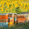 Beehives sunflowers