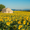 Sunflowers Provence 1
