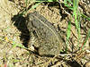 Woodhouse's Toad, (Bufo woodhousii)
