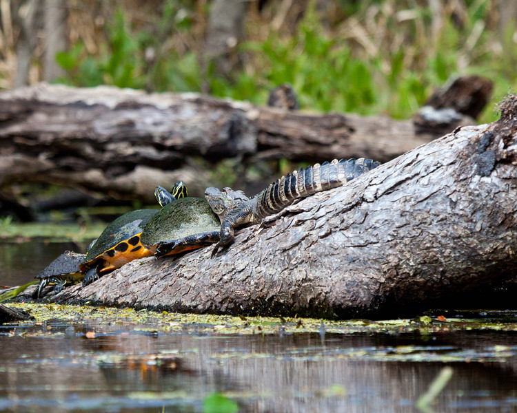 Alligator and Turtles on Wekiva River