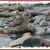 Black-bellied Plover - September 19, 2009 - Hartlen Point, Eastern Passage, NS