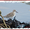 Semipalmated Sandpiper - August 29, 2008 - Hartlen Point, Eastern Passage, NS