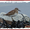 Least Sandpiper - August 29, 2008 -  Hartlen Point, Eastern Passage, NS