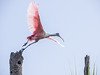 Roseate spoonbill returning to nest to feed chicks