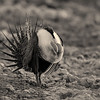 Sage Grouse at Lek 2