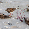 Ruddy Turnstone Foraging.<br /> Sanibel island, Fliorida.