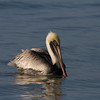 Brown Pelican. Sanibel island, Florida.
