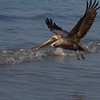 Brown Pelican in Flight. Sanibel Island, Florida.