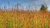 Prairie grasses near Balsam Lake, Wisconsin, August. #0107