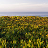 Ice Plants on West Cliff Drive<br /> Santa Cruz, California