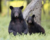 "This photograph of a Black Bear sow and cub was captured in Shenandoah National Park, Virginia (6/14). <FONT COLOR=""RED""><h5>This photograph is protected by the U.S. Copyright Laws and shall not to be downloaded or reproduced by any means without the formal written permission of Ken Conger Photography.<FONT COLOR=""RED""></h5>"