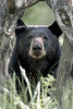 "This photograph of a Black Bear was captured in Shenandoah National Park, Virginia (6/14). <FONT COLOR=""RED""><h5>This photograph is protected by the U.S. Copyright Laws and shall not to be downloaded or reproduced by any means without the formal written permission of Ken Conger Photography.<FONT COLOR=""RED""></h5>"