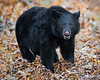 This photograph of a Black Bear was captured in Shenandoah National Park, Virginia (10/13).  This photograph is protected by the U.S. Copyright Laws and shall not to be downloaded or reproduced by any means without the formal written permission of Ken Conger Photography.
