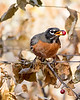 This photograph of a American Robin was captured in Shenandoah National Park, Virginia (10/13).  This photograph is protected by the U.S. Copyright Laws and shall not to be downloaded or reproduced by any means without the formal written permission of Ken Conger Photography.