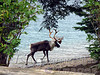 Lake Superior Reindeer