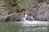 Caribou Coming Ashore.