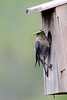 5729 Female Bluebird with food for young.